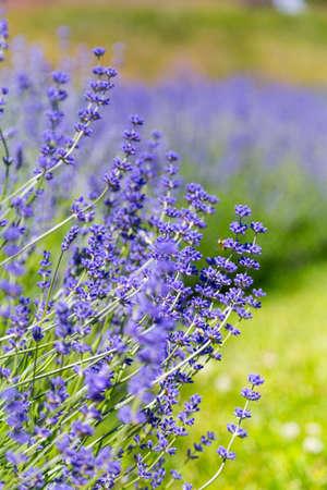 Closeup view of lavender