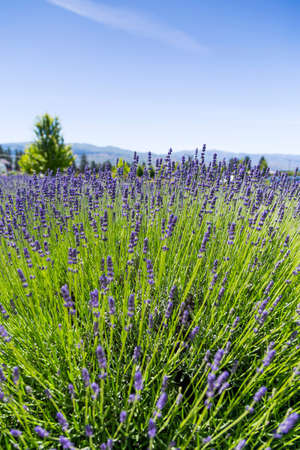 field of lavender 免版税图像