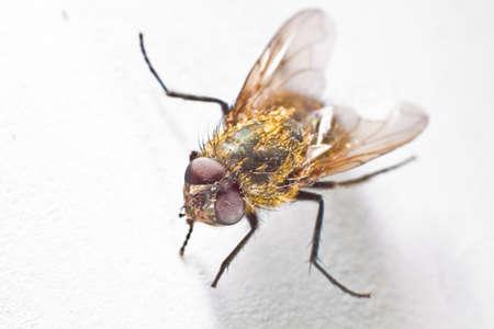 housefly: common housefly closeup