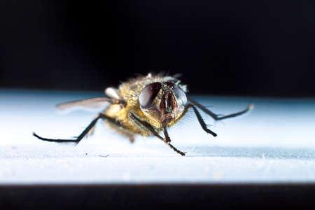 housefly: common housefly viewed closeup