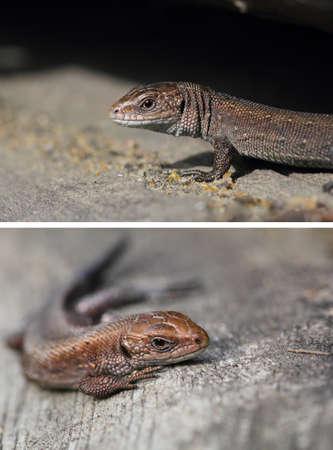 viviparous lizard: Viviparous lizard. A cub of Zootoca Vivipara