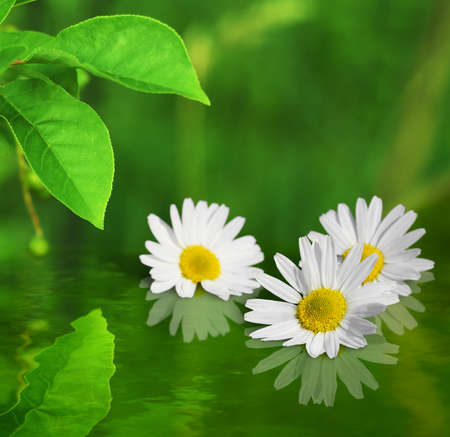 greenness: Three white yellow daisy flowers on green background reflected in water