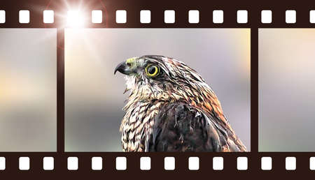 photo film: Photo film with hawk. Vector illustration of predatory bird
