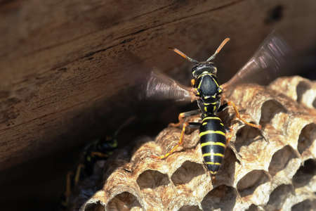 paper wasp: Paper Wasp sitting on vespiary. Polistes dominulus
