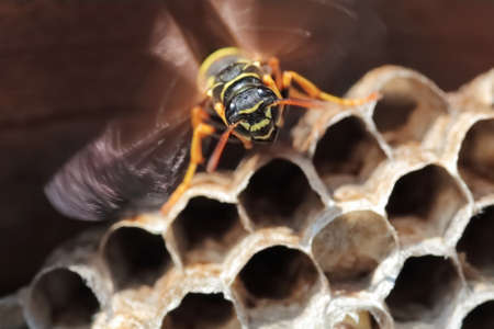 paper wasp: Paper Wasp sitting on nest. Polistes dominulus