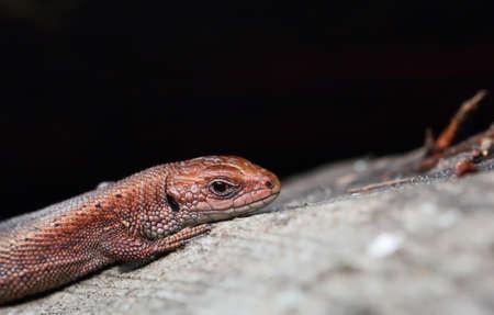 viviparous: Viviparous lizard. Zootoca vivipara