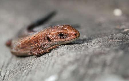 viviparous: viviparous lizard