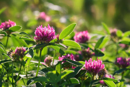 greenness: Pink clover flowers on green meadow Stock Photo