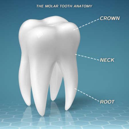 molares: Molar anatomía - corona, cuello y raíz de diente Vectores