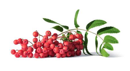 Bouquet de baies de sorbier ou de sorbier isolé sur blanc libre