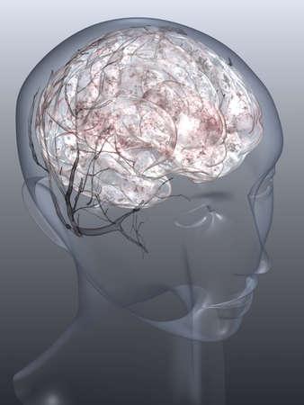 cabeza femenina: Una vista de un cerebro dentro de una cabeza femenina similar al vidrio