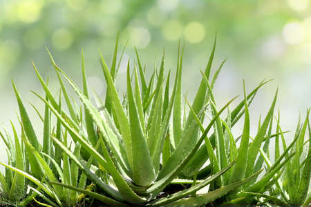 Aloe Vera, fresh leaf of Aloe Vera in farm garden natural background sun light bokeh nature green 스톡 콘텐츠 - 97300451