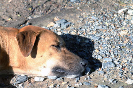 close up dog head Soak up the sun, Brown Dog is sleeping (Lying), Thai Ridgeback dog brown asian 写真素材
