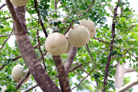Herb Makwid, wood-apple on tree of Edible Thai fruit of subcontinent asia