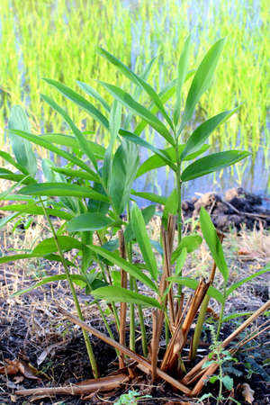 Ginger Galangal tree herb plantation