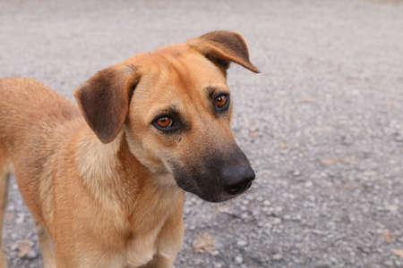 Brown Dog Looking, Dog portrait close up Asian Thai animal pet