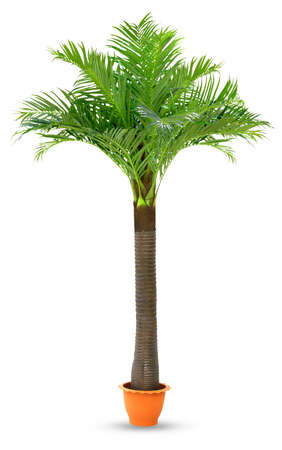 Coconut palm tree in pot plastic isolated white background, Coconut tree for decoration booth exhibitions prop display garden design