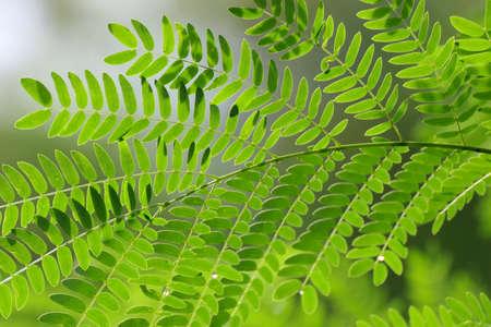 Acacia leaf, Soap Pod (Acacia concinna (Willd.) DC.) Green Leaves, Medicinal properties herb Standard-Bild