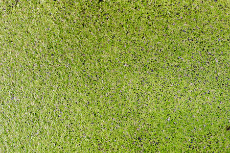 Duckweed, Green leaf Duckweed Background, Duckweed is a floating plant on the surface