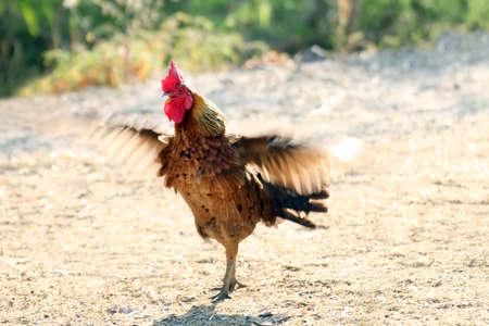 blurred rooster cock wing flutter, motion rooster cock chicken wing flap flutter blur Stock fotó