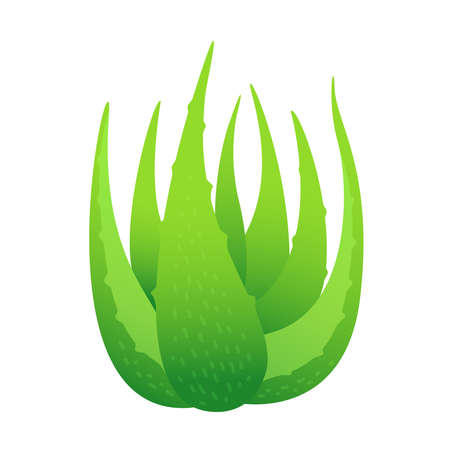 aloe vera leaves isolated on white background, clip art of aloe vera leaves plant, aloe vera for ingredient cosmetics cream products, illustration realistic clip art of aloe vera plantation farm Иллюстрация