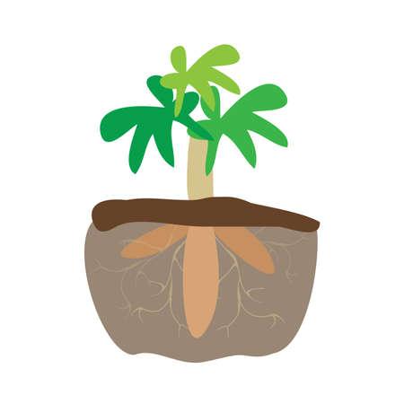cassava tree plant and tapioca root underground isolated on white background, cassava farm for tapioca flour industry or ethanol industry, yucca cassava tuber, manioc cassava plantation