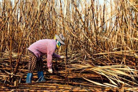 sugarcane farmers in sugar cane field, worker in burn sugarcane plantation in the harvest season, sugar cane cutting workers in sugarcane fields, burned sugarcane farm Standard-Bild