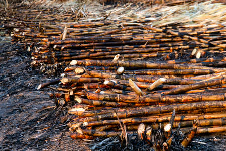 pile sugarcane burned in the harvest season, sugar cane fresh, sugarcane burn in field, sugar cane burned in plantation Banque d'images