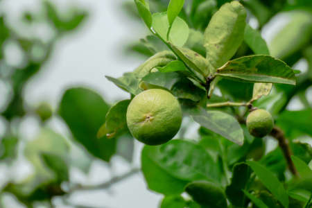 limes on tree, fruit sour, green lemon in farm, lime plantation