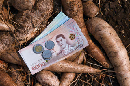 cassava and banknote money thai baht, money in manioc planting, money in cassava agricultural land, tapioca trading or selling concept