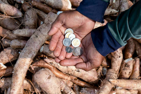 cassava and money thai baht in hand farmers, money in manioc planting for buying and selling concept, tapioca starch industry 免版税图像 - 156752604
