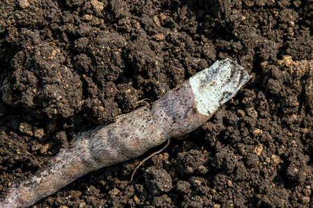 cassava on the ground for planting, cassava tuber on soil for cultivation, cassava for tapioca flour industry