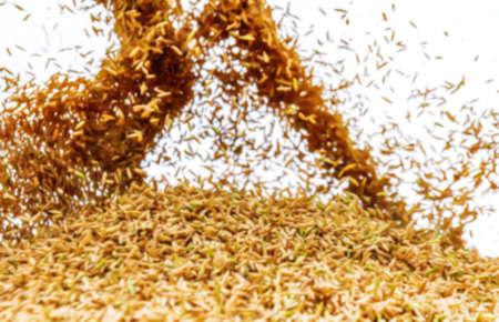 blurred paddy rice for background, jasmine rice paddy blur, yellow gold paddy rice for background Stok Fotoğraf