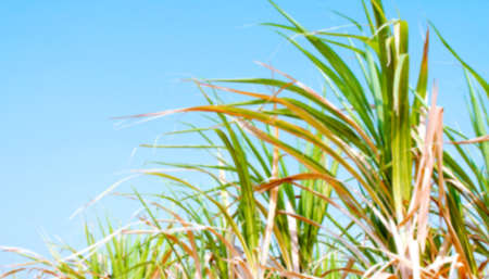 blurred sugarcane leaf for background, sugar cane leaves in plantation blur image, fresh green blur sugarcane leaves