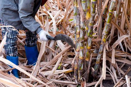 sugarcane cutting workers in sugarcane fields, worker in sugar cane plantation in the harvest season, sugarcane farmers in sugar cane field, sugarcane fresh in farm