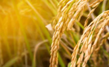 blurred rice, paddy field, organic paddy rice for blur background, yellow gold rice grain blurred background