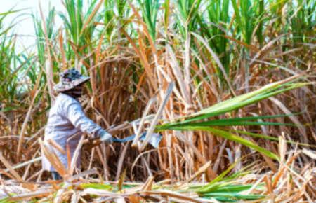 blurred sugarcane farmer at sugar cane field in harvest season, sugarcane plantation, blur sugarcane worker in farmland for background