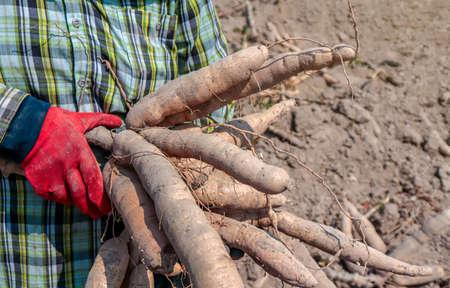 cassava and farmer in fields tapioca, gardener holding cassava root in farm