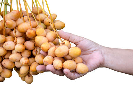 date palm raw in hand holding isolated on white, yellow date palm bunch, branch of fresh date palm Stok Fotoğraf
