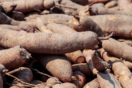 pile cassava for tapioca flour industry, raw yucca tuber, cassava in top view for background