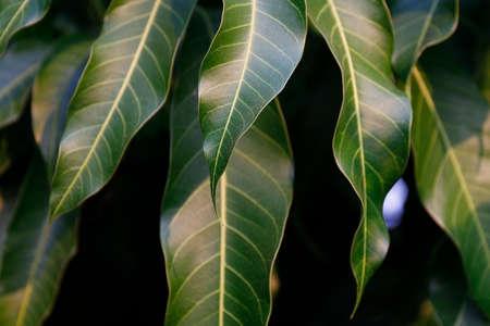 mango leaves in garden for background Stok Fotoğraf