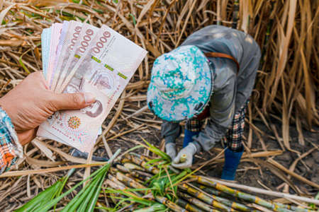 money in hand sugarcane farmers, banknote money thai baht in the hand at sugarcane plantation field in sugar cane harvest season