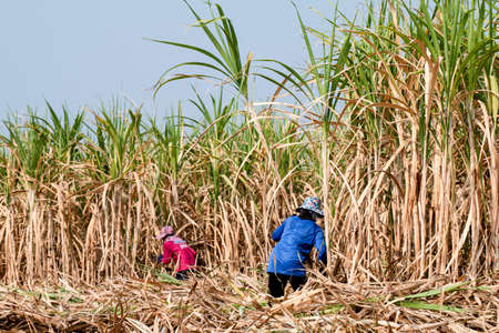 sugarcane farmer at sugar cane field in harvest season, sugarcane plantation, sugarcane worker in farmland