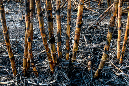 sugar cane burned in plantation land, sugarcane in harvest season, sugarcane fresh in plant field