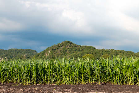 corn plots in farmland, corn field, corn planting, corn cultivation Imagens