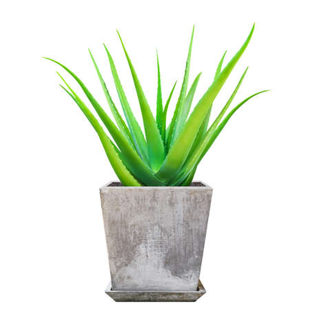 Aloe Vera plant in pots, Aloe Vera leaf, Aloe Vera on cement pot isolated on white Imagens