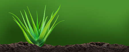 Aloe Vera plant on soil, Aloe Vera leaf on dirt plantation, Aloe Vera and copy space for text Imagens