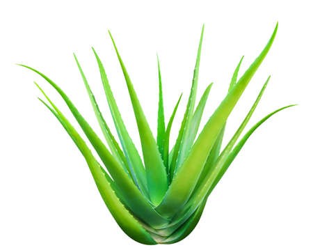 Aloe Vera isolated on white, Aloe Vera leaf, Aloe Vera fresh