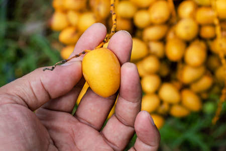 date palm raw in hand holding, yellow date palm, fresh date palm in farmland