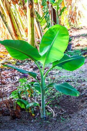 banana tree small, banana farm